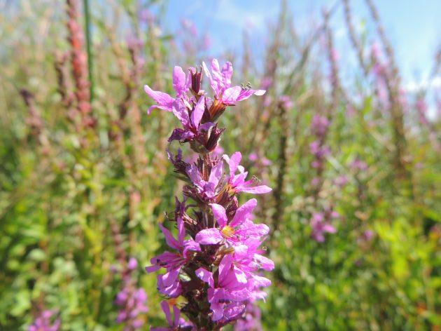 Purple Loosestrife plant