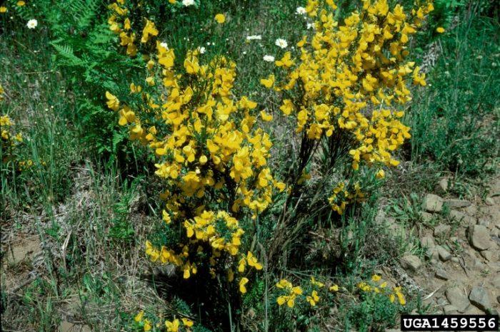 Scotch broom plant