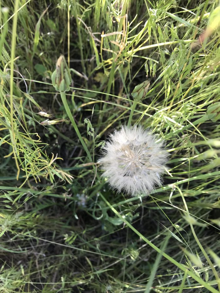 cutleaf vipergrass