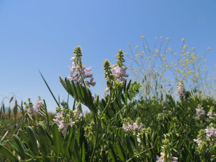 Goatsrue plant infestation