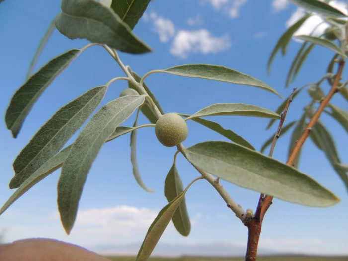 Russian olive leaves