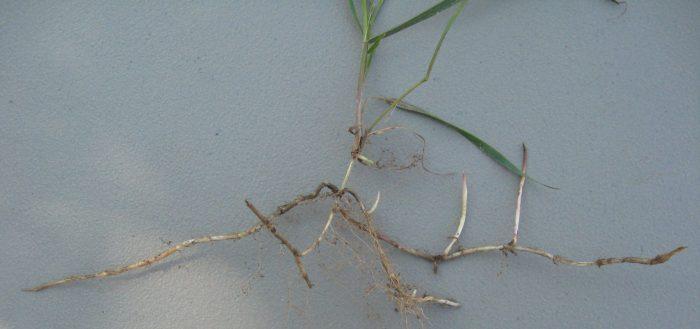 Quackgrass rhizomes