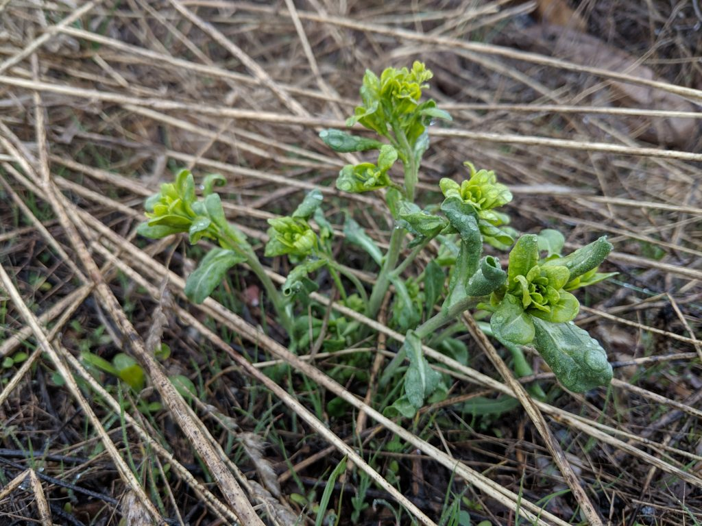 Dyer's woad plant, without flowers