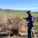 Woman looking at noxious weed on tour through Weber and Cache counties